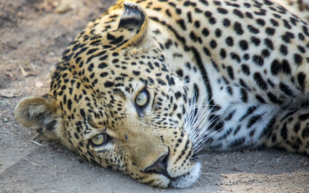 A Week On Safari In Africa:   Here's A Taste Of Upcoming Reports